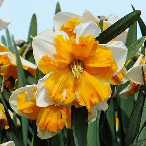 "Daffodil ""Orangery"" Size:12/14 pack of 10 bulbs"