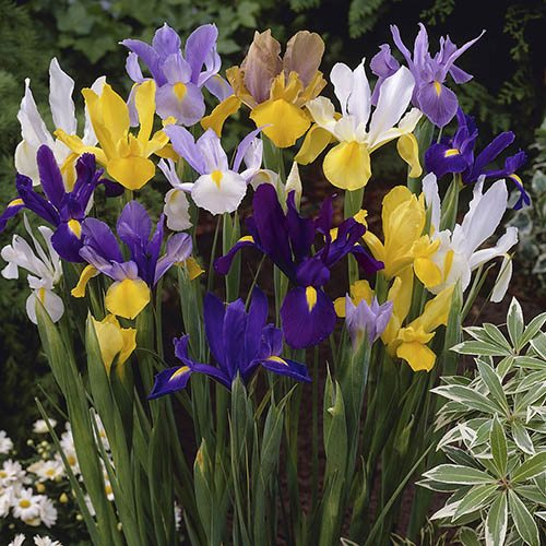 Pack of 100 Dutch Iris Mixed Bulbs Size 6/8