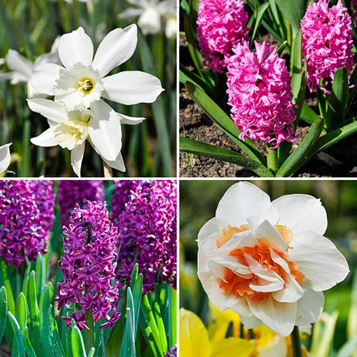 Plants & Seeds 'Spring Scents' Bulb Collection 48 bulbs