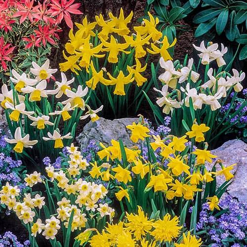 Short Mixed Daffodils