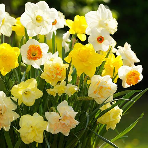Tall Mixed Daffodils