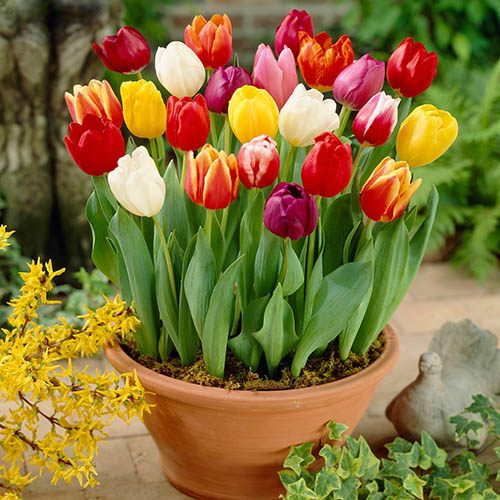 Tulip bulbs - Tall 'Triumph' Mix - pack of 50
