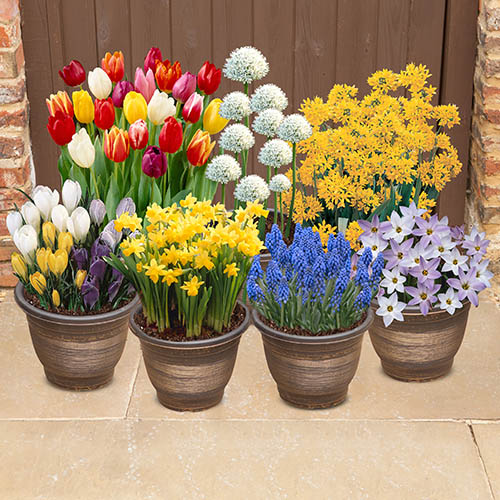 300 Spring Flowering Bulb Collection in 7 varieties - plant in Autumn