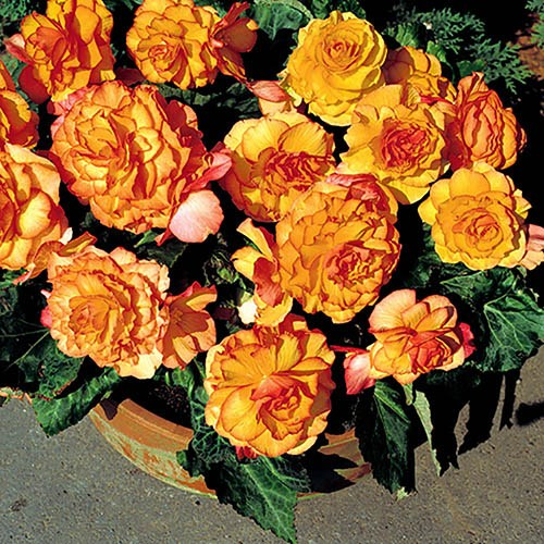 Begonia Firecracker Two-Tone