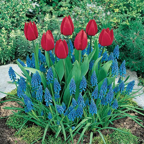 Classic Planter pack - Tulip & Muscari 45 bulbs
