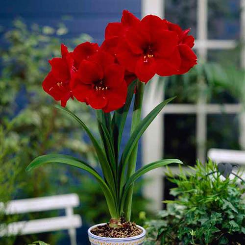 Red Amaryllis Bulb with Ceramic Planter
