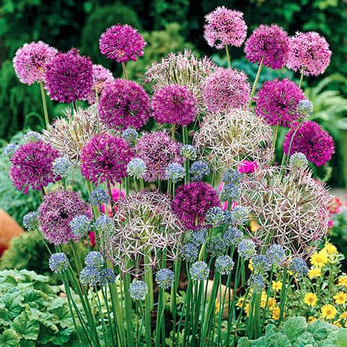 Allium Flower Bulb Collection - 100 bulbs in 7 varieties