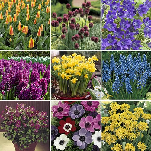 Image of 501 Bulb Spring Flowering Bulb Collection in 9 varieties