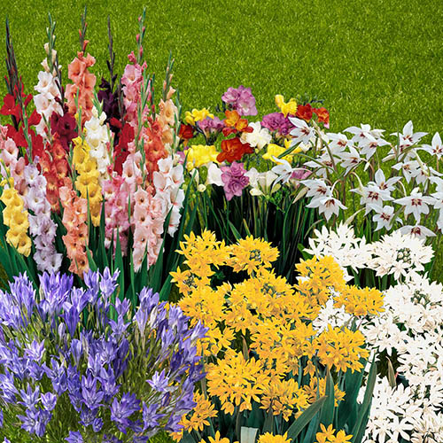 300 Summer Flowering Bulb Collection on 7 varieties