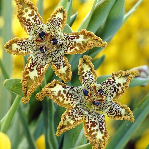 Starfish Iris Ferraria crispa.