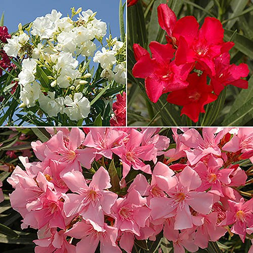 Mediterranean Oleander Collection plant collection - 3 colours in 17cm pots