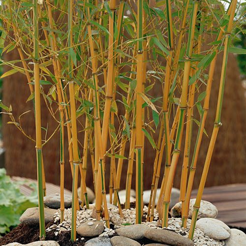 Phyllostachys aureosulcata Spectabilis Yellow Bamboo