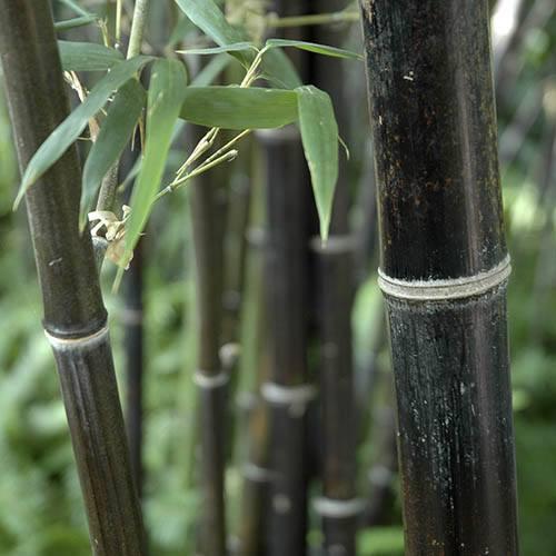 Black Bamboo - Phyllostachys nigra