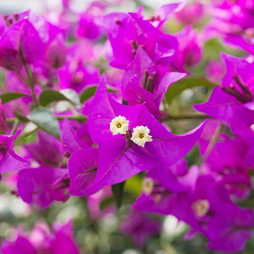 Pair of Pink Bougainvillea Bushes 60cm tall