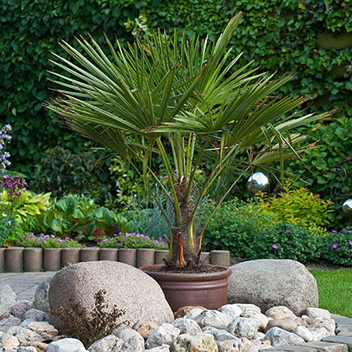 Image of Trachycarpus fortunei Hardy Palm Tree 1.2-1.4M