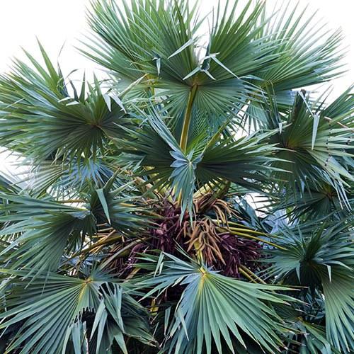 Chamerops humilis Cerifera - Hardy Blue Fan Palm