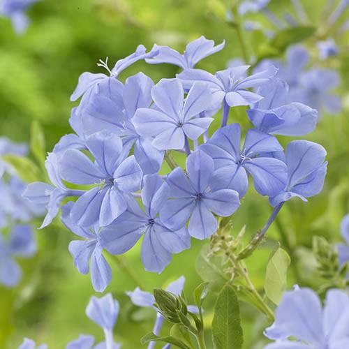 Plumbago auriculata Blue plant in 2L pot 80-100cm tall