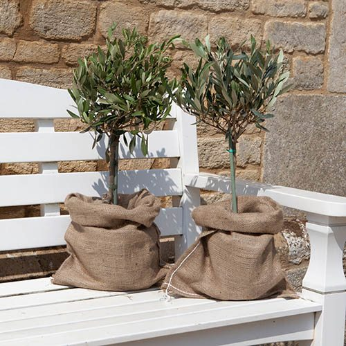 Mini Standard Olive Trees