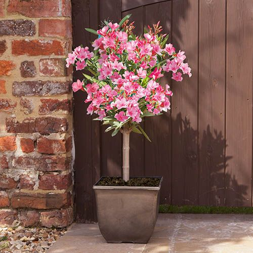 Patio Standard Oleander 65cm Tall in a 5L Pot