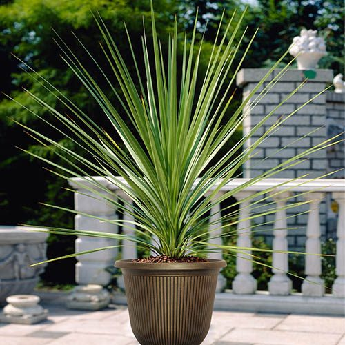"Pair of Cordyline australis (Torbay Palm) green 1M tall plants with 13"" planters"