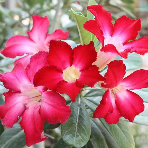 Image of Adenium obesum 14cm pot - Rose of the Desert