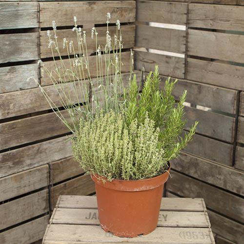Herb Trio Pot - 3 varieites in one pot