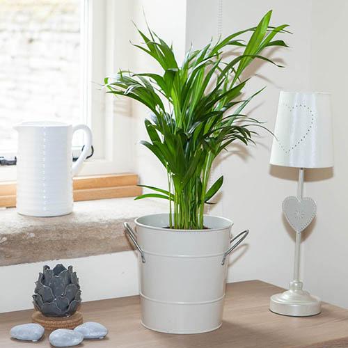 Image of Areca palm 14cm pot 50-60cm tall