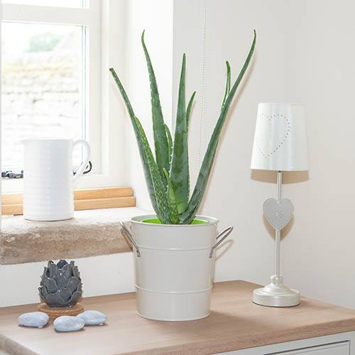 Image of Aloe vera 15cm 50cm tall