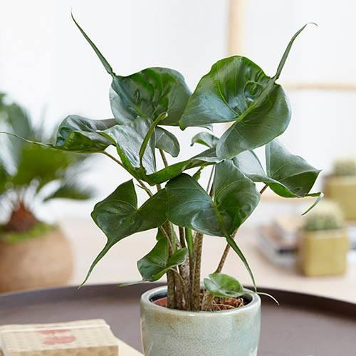 Image of Alocasia 'Stingray' 14cm pot