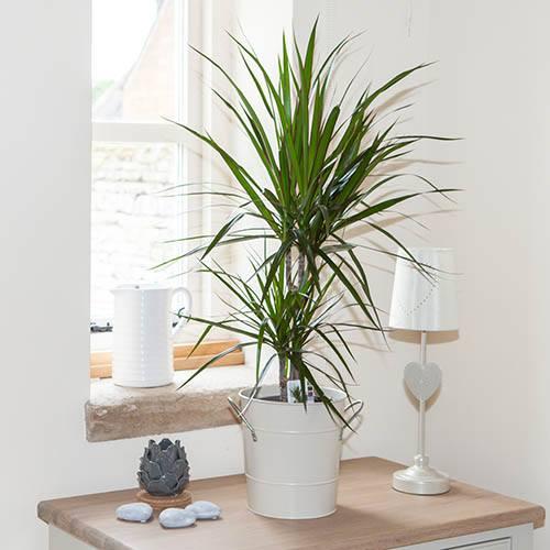 Plants & Seeds Dracaena marginata 45/15/10 95cm