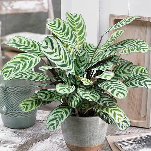 Plants & Seeds Ctenanthe burle-marxii