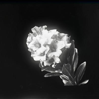 Alpine Rose I