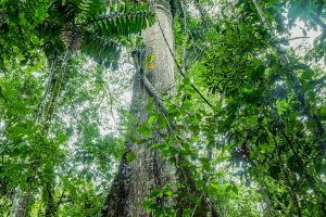 Giant Kapok Tree Ceiba Pentandra In Cuyabeno Wildlife Reserve Ecuador
