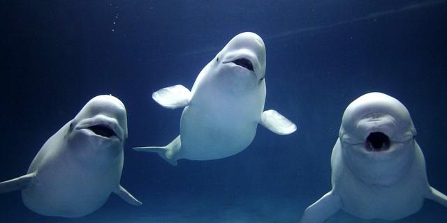 """""""Beluga"""" yani beyaz balinalar…"""