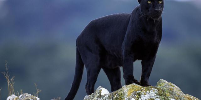 Bu da gerçek kara panter