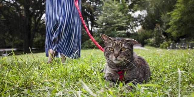 Kedileri tasmaya alıştırırken sabırlı ve nazik olun