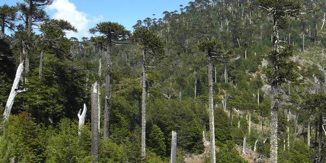 Aracuaria Ormanı