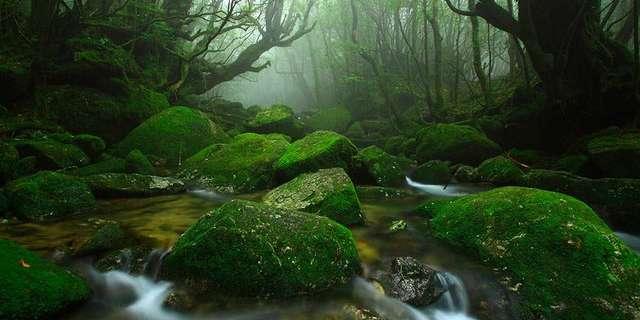 Yakushima Ormanı