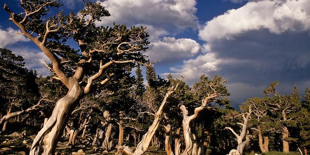 Antik Bristlecone Çam Ormanı