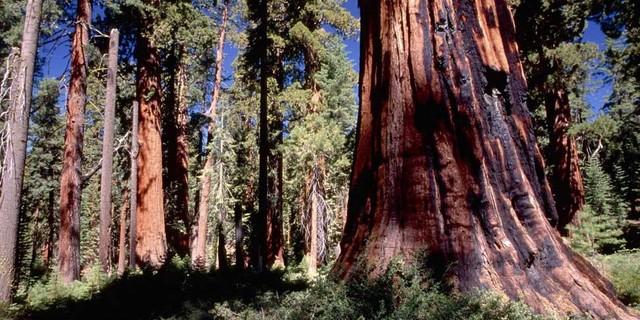 California Floristic Province Ormanları