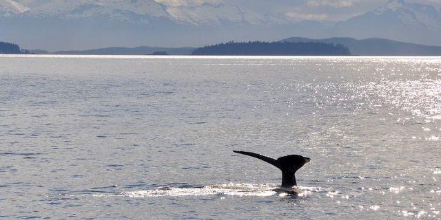 Alaska'da balina keyfi