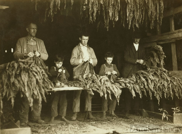 B. F. Howell farm, Tobacco Production