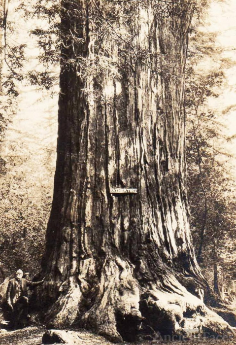 Andrew P. Hill and a Giant Redwood