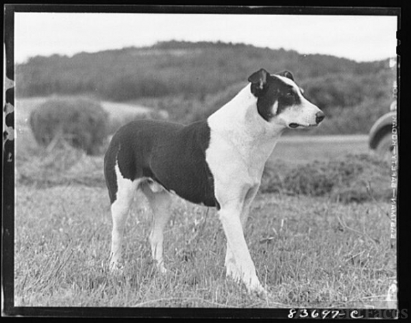 Fort Kent, Maine (vicinity). A typical dog in Aroostook...