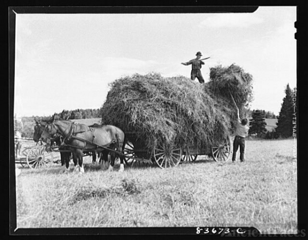 Fort Kent, Maine. (vicinity). Putting up hay on Albert...