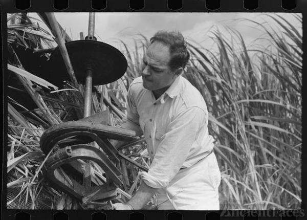 Mr. Wurtele, inventor of sugarcane harvester, attempting...