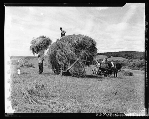 Fort Kent, Maine (vicinity). Putting up hay on Leonard...
