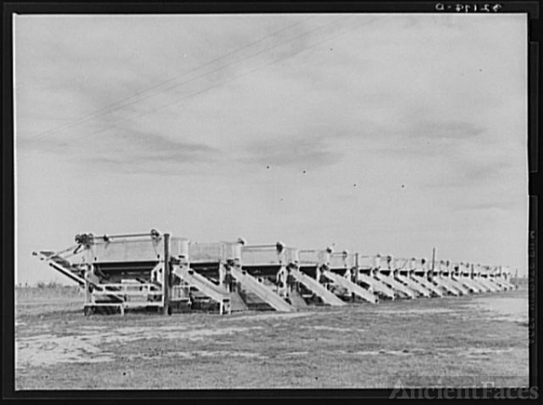 Battery of pea shellers near Mercedes, Texas
