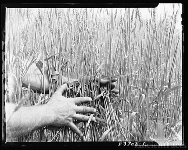 Fort Kent, Maine (vicinity). Leonard Gagnon raises wheat...