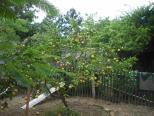 Pátio com árvores frutiferas